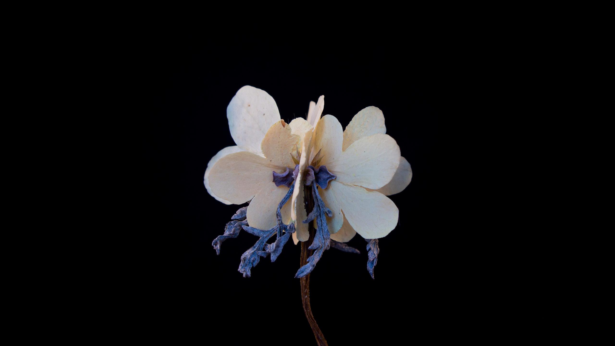 F. pluviagutta